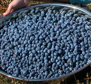 Blueberries, fruit and veggies from Laughing Apple Farm